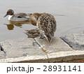 もう直ぐ帰る稲毛海浜公園に飛来したオナガガモ 28931141