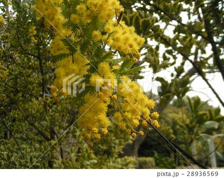 今が盛りの黄色い花はギンコウアカシア 28936569