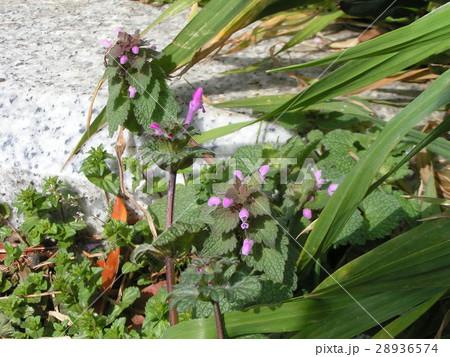よく似た春の野草ホトケノザとヒメオドリコソウ 28936574