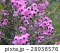 可愛い小さい桃色の花エリカ 28936576