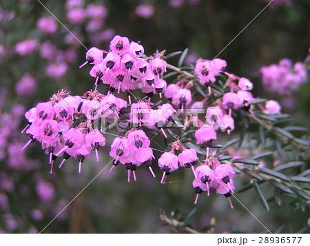 可愛い小さい桃色の花エリカ 28936577