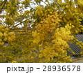 今が盛りの黄色い花はギンコウアカシア 28936578