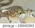 ヤマカガシ_DSC7172 28940363