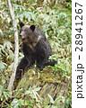 (知床)切り株に座る野生のヒグマ 28941267