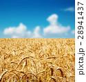 背景 ムギ 大麦の写真 28941437