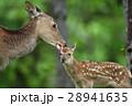 エゾシカ 親子 動物の写真 28941635