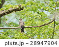 キジバト 野鳥 ハトの写真 28947904