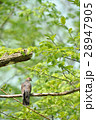 枝に止まるキジバト 28947905