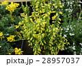 エリカ・カナリーヒース 花 28957037