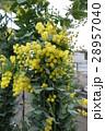 ギンヨウアカシア  28957040