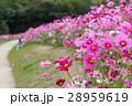 花 コスモスの花 センセーションの写真 28959619