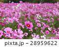 花 コスモスの花 センセーションの写真 28959622