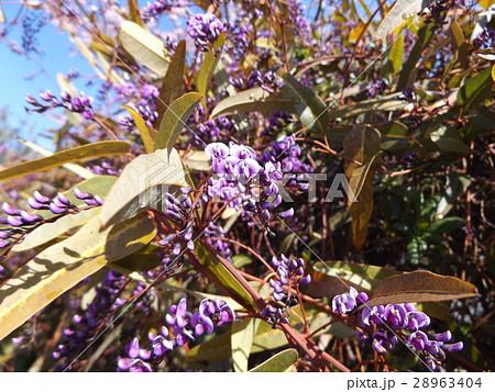 つる性の紫色の花はハーデンベルギア 28963404