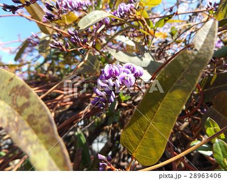 つる性の紫色の花はハーデンベルギア 28963406
