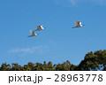 サギの群れ飛行 28963778