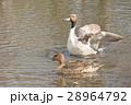 鴨 野鳥 羽ばたきの写真 28964792