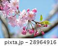 桜_雪入山 28964916