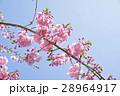 桜_雪入山 28964917