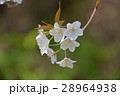 桜_雪入山 28964938