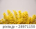 ミモザ 28971150