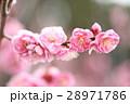 梅 花 ピンクの写真 28971786