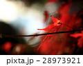 真っ赤な楓 アップ 28973921