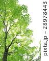 新緑 楓 若葉の写真 28978443
