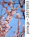 春の花 28978803