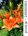 スカシユリ ユリ 花の写真 28980963