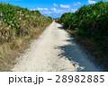 沖縄県 久高島 カベール岬へ続く道 28982885