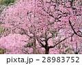 春 紅梅 満開の写真 28983752