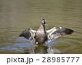【野鳥】カルガモ 28985777