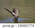 【野鳥】カルガモ 28985779