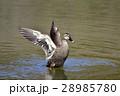 【野鳥】カルガモ 28985780
