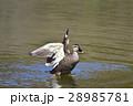 【野鳥】カルガモ 28985781