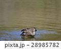 【野鳥】カルガモ 28985782