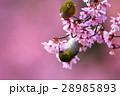 メジロとオカメザクラ 28985893