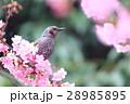 ヒヨドリと河津桜 28985895