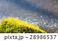 コケ 28986537