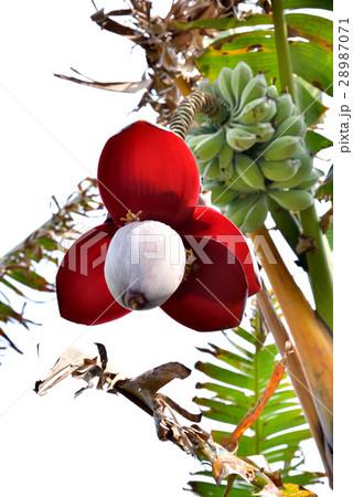 沖縄 イトバショウの花と実 28987071