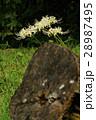 彼岸花 白花彼岸花 曼珠沙華の写真 28987495