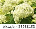 アナベル アジサイ 花の写真 28988153