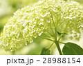 アナベル アジサイ 花の写真 28988154