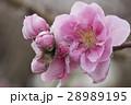 桃 花桃 桃の花の写真 28989195