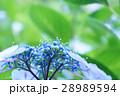 ガクアジサイ アップ 花の写真 28989594