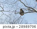 さる サル 猿の写真 28989706
