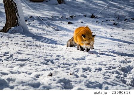 the fox  28990318