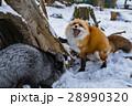 きつね キツネ 狐の写真 28990320