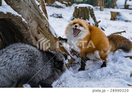 fox-fight   28990320