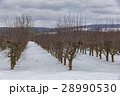 orchard in winter  28990530